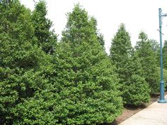 Buy American Holly Trees Online | Garden Goods Direct