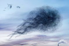 OMG......the beautiful dance of the Starlings!!
