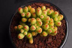 Crassula 'LUDRITS' (Crassula nudicaulis var. Herrei Hyb)