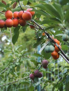 A capacidade de uma mesma árvore gerar frutos diferentes é possível porque todas as variedades escolhidas são parentes e pertencem à mesma família (rosaceae) e ao mesmo gênero (prunus)