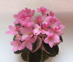 Mac's Blowing Bubbles (G.McDonald) Semidouble pink blossoms. Variegated with pink and cream. Semiminiature. Полумахровые розовые цветы-анютки с удлиненными лепестками. Кремовая и розовая пестролистная розетка. Полуминиатюра. Photo by Манечка