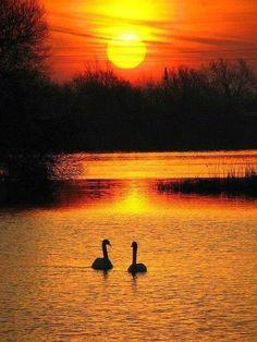 Zwanen bij een ondergaande zon