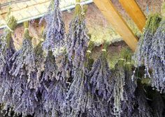 hanging lavender to dry