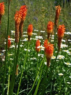 A patch of red hot pokers (Kniphofia) and daisies provided some summer color at Glen Bernie in Winchester, VA.