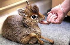 baby antelope Mouse Deer, Cute Creatures, Animals Beautiful, Adorable Animals, Unusual Animals, Pretty Animals, Exotic Animals, Beautiful Creatures, Cute Babies