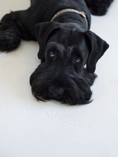 Giant Schnauzer Puppy Eyes
