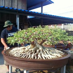 Look at the amazing roots on this bonsai tree Bonsai Indoor, Bonsai Plants, Bonsai Garden, Garden Planters, Bonsai Tree Care, Bonsai Tree Types, Mame Bonsai, Planting Roses, Planting Succulents