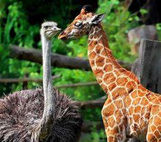 La jirafa y el avestruz