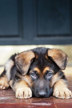 Aww, how could you say no to those eyes? German Shepherd Puppy.