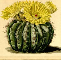 Vintage Floral/Plant Illustrations (Hi Resolution .jpg & Curtis Botanical Magazine eBooks Vol. on DVD-ROM Cactus Drawing, Cactus Painting, Cactus Art, Cactus Plants, Vintage Botanical Prints, Botanical Art, Vintage Floral, Cactus Illustration, Botanical Illustration