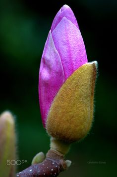 Magnolia - Manolyanın Doğumu