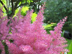 Astilbes Arendsii Roses, pris un plant pour compléter ma collection, mis sous des arbres à mi ombre