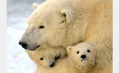 urso polar - Pesquisa Google