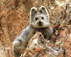 つぶらなひとみ、テディベアのような顔、絶妙な長さの耳。この愛らしさ炸裂の動物はイリナキウサギ(学名:Ochotona iliensis)という。 中国北西部、ウイグル自治区とキルギスとの国境に近い天山山脈の岩場に生息するナキウサギの1種で、1983年に中国の研究者、リー