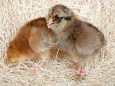 Ameraucanas, also known as Easter Egger chickens are very popular because of the beautiful blue or green tinted eggs they lay. Types Of Chickens, Pet Chickens, Raising Chickens, Easter Egger Chicken, Chicks For Sale, Broody, Baby Chicks, Mixed Breed, Easter Eggs
