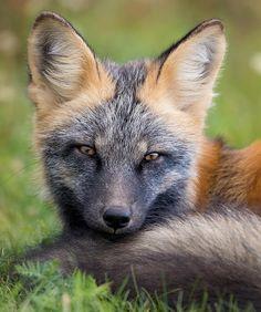 "Beautiful wildlife: ""Cross Fox by © bkcrossman"" - animals - . - Beautiful wildlife: ""Cross Fox by © bkcrossman"" – animals – - Animals And Pets, Baby Animals, Cute Animals, Beautiful Creatures, Animals Beautiful, Beautiful Beautiful, Fuchs Baby, Fantastic Fox, Amazing"