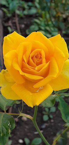 Pretty Roses, Beautiful Roses, Beautiful World, Colorful Roses, Water Art, Good Morning Images, Flower Designs, Painting Prints, I Am Awesome