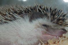 Sleeping Hedgehog.