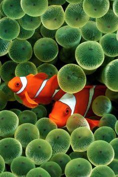 Clown Fish http://www.funshare.mobi/free-mobile-wallpapers/iphone-wallpapers/1533/iphone-clown-fish-wallpaper.html