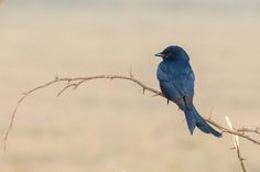 Black Drongo by Imran Ahmad on 500px