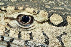 Monitor Lizard white-gold eye Monitor Lizard, Interesting Animals, Tyrannosaurus Rex, Gold Eyes, Creature Feature, Lizards, Consciousness, Creatures, White Gold