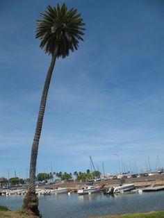 Haleiwa, Hawaii - palm tree