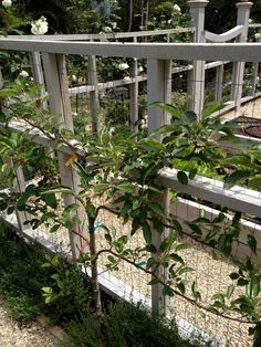 Espaliered apple tree. #espalier LOVELY lll gated garden enclosure containing RAISED BEDS, all with IRRIGATION   aka #potager or kitchen garden.   Design: Brooke & Steve Giannetti
