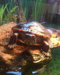 Cyclone :). Midland painted turtle