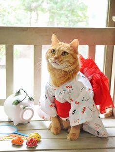 Nuevo ocio de Instagram: Gatitos vestidos con kimonos