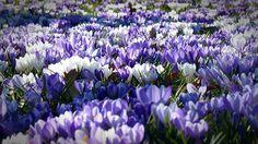 Krokusse, Garten, Krokus, Blumen