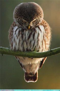 Shy owl..