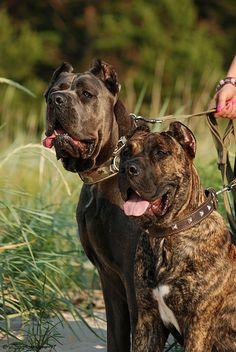 Beautiful #Cane #Corso dogs