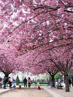 Cherry blossoms, in a Paris park