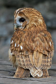 Strix aluco - Bosuil - Tawny owl - We have one living in the woods outside our house, I hear it sometimes when I can't sleep and it's a lovely sound Beautiful Owl, Animals Beautiful, Cute Animals, Wild Animals, Baby Animals, Owl Photos, Owl Pictures, Strix Aluco, Tawny Owl