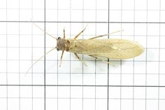 Stonefly, Order Plectoptera (Top) J. Cauthorn