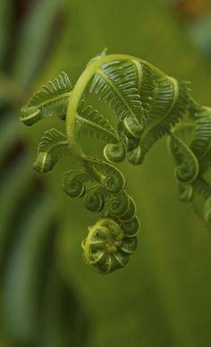 Fiddlehead ferns.