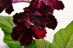 Image result for streptocarpus black cat