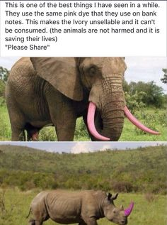 Pink ivory tusks - anti hunting Pink Dye, Pink Color, Elephant Facts, Ivory Trade, Weird Facts, Crazy Facts, Fun Facts, Animals And Pets, Funny Animals