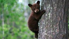 Baby Bear | Bear Legend