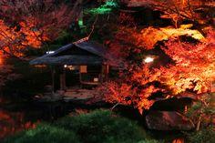#momiji, #maple, #night, #Illuminated, #autumn leaves,