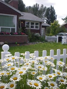white picket fence and daises! too perfect!