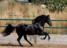 Résultat d'images pour Friesian Horses for Adoption