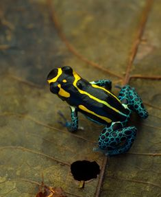 Ranitomeya defleri from Rio Apaporis, Colombia. Photo by Jason Brown. Source: www.dendrobates.org