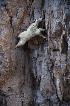 A mountain goat descends a sheer rock wall to lick exposed salt. Glacier national Park, Montana.