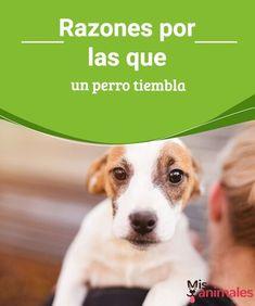 Razones por las que un perro tiembla Seguramente alguna vez te has preguntado por qué tu perro tiembla. En este artículo te contamos los diferentes motivos y cómo actuar cuando esto ocurre. #motivos #temblar #perro #salud