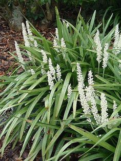 Liriope muscari 'Monroe White' - Evergreen grass like foliage, medium height, white flowers in summer.