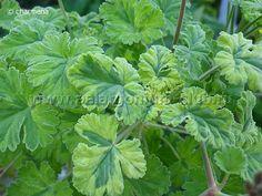Pelargonium club   p. fragrans variegatum leaf