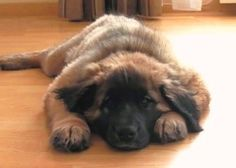 LEONBERGER. I have a picture of my Max exactly like this.