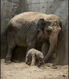 Adorable Newborn Asian Elephant Is Helping Save Her Species Large Animals, Baby Animals, Funny Animals, Cute Animals, Baby Elephants, Asian Elephant, Elephant Love, Elephant Pics, Giraffe