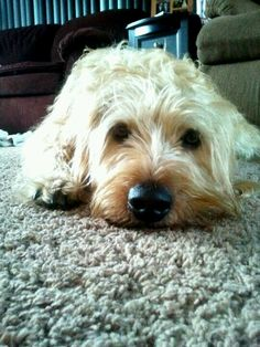 Otterhound :)